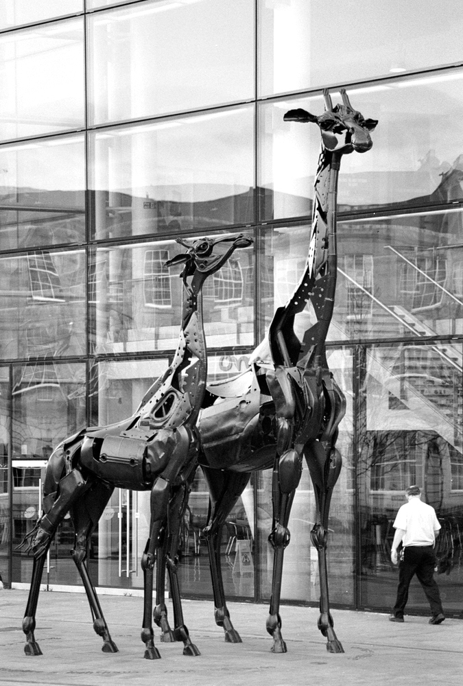 Greyscale. A pair of giraffes, the scrap metal a suggestion of their form. The smaller one gazes at its mother, who stares straight ahead.